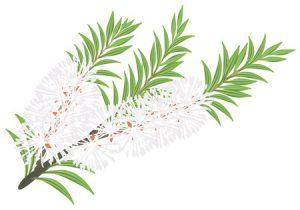 Teebaumöl gegen Akne, Pickel und Mitesser